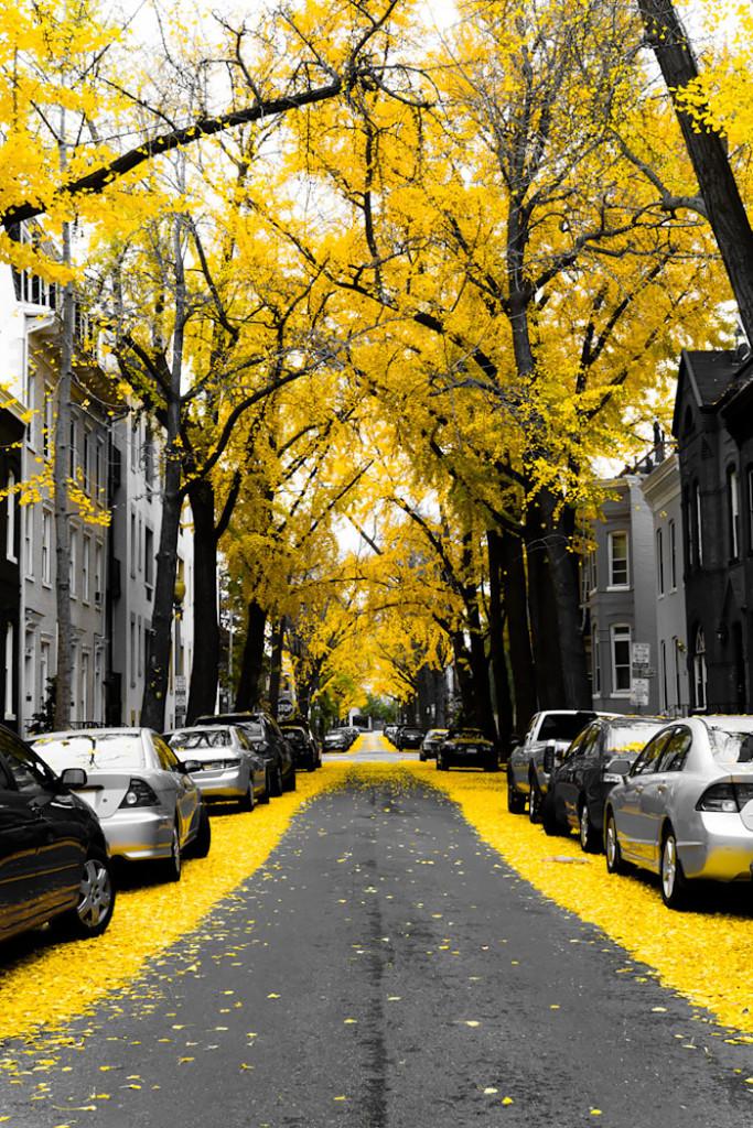 ipe-amarelo-rua-whashington-usa